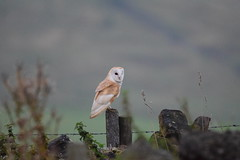 Barn Owl 6th Sept (Terry Angus) Tags: