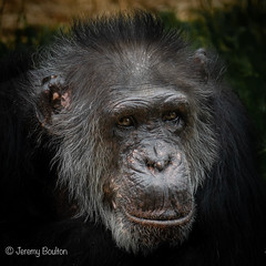 Knowing (JKmedia) Tags: chimpanzee chimp ape monkey boultonphotography 2018 chesterzoo primate sonyrx10iii animal
