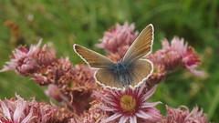 Argus et joubardes (passionpapillon) Tags: macro papillon insecte passionpapillon 2018 butterfly