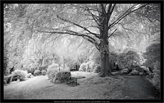 analog infrared: BROOKS PLAUBEL VERIWIDE 100 with Super-Angulon 8/47mm, Rollei INFRARED film, IR filter 720nm (Dierk Topp) Tags: bw brooksplaubelveriwide100 ir plaubel r72filter superangulon847mm veriwide analog badoldesloe friedhof graveyard infrared kodakd76 monochrom sw trees wald wood bäume