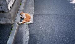 One scene of commuting 2018/06 No.9(A cat in Hiroshima city 2018/06 No.6,taken by film camera). (HIDE@Verdad) Tags: olympusxa olympus xa zuiko fujifilm superiaxtra400 猫 cat