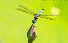 Blue Dasher (20180824-DSC05338-Edit) (Michael.Lee.Pics.NYC) Tags: newyork nybg newyorkbotanicalgarden dragonfly bluedasher insect male waterlily bud flower lilypad bokeh sony a6500 fe100400mmgm