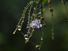 小紫花 (enno7898) Tags: panasonic lumix g9 lumixg9 vario 45200mm f4056 plant flower