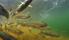 Rainbow Trout Gathering (Fish as art) Tags: river rainbowtrout fishing fisheries troutfishing flyfishing flyfisherman streams troutgenetics yukonfishes alaskanfishes paulvecseiphotography nikon northern northerncanada