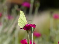 Common Brimstone II (Marit Buelens) Tags: citroenvlinder gonepteryxrhamni insect vlinder schmetterling papillon rosecampion belgium westvlaanderen zitronenfalter lychniscoronaria