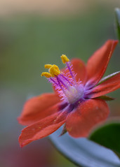 Scarlet Pimpernel - Anagallis arvensis (viking__77) Tags: 16mmextensiontube 35mmf2afd a7iii anagallisarvensis england lound nikkor35mmf2afd nikon nikon105mmf28afdmacro nottinghamshire scarletpimpernel september sony sonya7iii summer countryside footpath insect macro plant reversemounted reversed wildflower