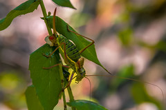 French Alps-9108 (EB_Creation) Tags: france alps nature insect grasshopper nikon europa europe sigma sigma170700mmf2840