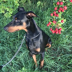 Saxon And The Autumn Berries (firehouse.ie) Tags: chien animals animal nature k9 canine boy male saxon dogs dog pinscher pinschers dobermans doberman dobermanns dobermann dobeys dobey dobies dobie dobes dobe