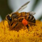 Pollen pellet on the saddlebag thumbnail