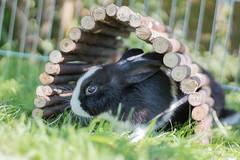 Bugsy & Thumper (Emma Greveson) Tags: petphotography animal animalphotography rabbit dutchrabbit sunshine garden animals bunny bunnies pets pet