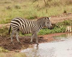 At a lake (Nagarjun) Tags: zebra blackandwhite plainszebra equusburchellii nairobinationalpark kenya animal wildlife fauna safari gamedrive lake waterbody