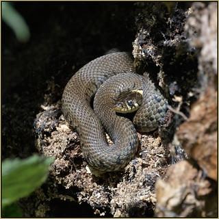 Grass Snake (image 1 of 4)