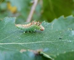 Pebble Hook-tip [Drepana falcataria] (rockwolf) Tags: pebblehooktip drepanafalcataria larva caterpillar lepidoptera moth silverbirch insect cinderhillwoods kent 2018 rockwolf