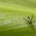 Kailua - Long Legged Fly