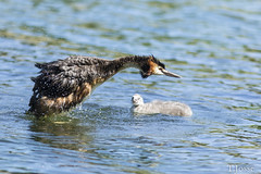 20180511_creteil_Grèbe huppé (thadeus72) Tags: aves birds greatcrestedgrebe grèbehuppé oiseaux podicepscristatus podicipédidae podicipédidés podicipédiformes