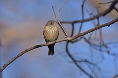 Rufous Whistler (Luke6876) Tags: rufouswhistler whistler bird animal wildlife australianwildlife