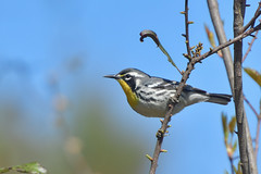 Yellow-throated Warbler (jonathanirons28) Tags: yellowthroatedwarbler april assateaguei worcesterco 2018 nikon spring d500