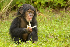 Amazing Grace (Mike S Perkins) Tags: gracie kczoo chimpanzee leaf green sit outdoors grass kansas city ssp baby infant nature relaxing sitting expressive face