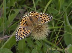 Dark green fritillary 02 (Roger Dickens) Tags: darkgreenfritillary argynnisaglaja mesoacidaliaaglaja butterfly pentaxk3 sigma105mmmacro warwickshire harbury grassland