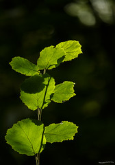 Hazel Leaves (ianbartlett) Tags: outdoor leaves macro dragonflies butterflies fern spores light colour workman trees