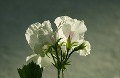 I love light (eric zijn fotoos) Tags: bloem sonyrx10m3 natuur light kreta flower licht macro nature crete bloemen flowers greece