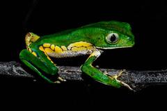 Phyllomedusa burmeisteri (Rafael C. C. de Souza) Tags: amphibian frog animal anuro phyllomedusa burmeisteri wild nature wildlife