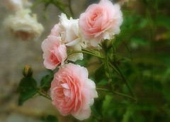 Le charme des roses (mamietherese1) Tags: floralessence coth fantasticnature coth5 garden persephonesgarden 200v200c2000v world100f contactgroups earthmarvels50earthfaves