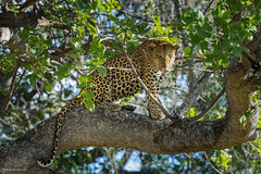 Leopard on a tree branch (in explore) (He Ro.) Tags: 2018 africa afrika botswana safari southernafrica leopard pantheraleo tree maleleopard shindeconcession okavangodelta botsuana wild wildlife nature predator big5 baum tier coth alittlebeauty ngc npc
