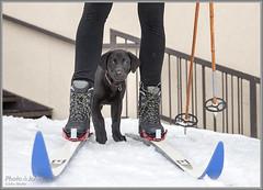 Alta Avalanche Puppy (Photo-John) Tags: dog puppy snow winter alta utah doggy ski skis skiing skipatrol avalanche rescue travel adventure lab internationaldogday dogs avalanchedog rescuedog pet workingdog labradorretriever blacklab cute monty animal