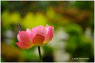 Lotus As Symbol Of Buddha Nature 佛性与般若 - Buddhist Temple XP8166e