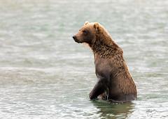 Brown Bear, Alaska (m_Summers) Tags: katmainationalpark oso grizzly northamerica nature 곰 fishingbear медведь salmonrun alaksa fishing animal orso くま kestrel bear wildlife भालू 熊 oursbrun bär brownbear mcneilriver wild summer mcneil mcneilriverstategamesanctuaryandrefuge coastalbrownbear