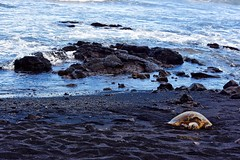 Green Sea Turtle (Chelonia mydas), Near South Point, Big Island, Hawaii (Ginger H Robinson) Tags: greenseaturtle cheloniamydas honu blackseaturtle pacificgreenturtle turtle southernpoint bigisland hawaii greenfat carapace blacksand gravel beach pacificocean water rock ocean sea wave animal