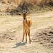 Un impala sempre vigile