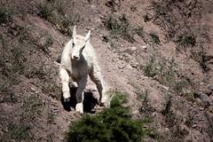 Baby Mountain Goat (Brad Prudhon) Tags: 2018 glaciernationalpark july montanna mountaingoats animal horns
