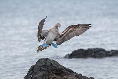 Blue-footed Booby - Get off my rock crabs D85_1829.jpg (Mobile Lynn) Tags: booby birds wild bluefootedbooby nature bird fauna sula wildlife sulanebouxii postofficebayfloreanaisland galapagosislands ecuador ec coth specanimal ngc coth5 npc
