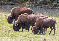 American Bison (Ed Sivon) Tags: american canon nature wildlife wild western southwest flickr canyon nationalpark park
