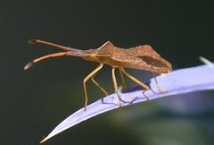 p1490722 (claudiopoli) Tags: animali animalia arthropoda insecta hemiptera coreidae syromastes rhombeus autouploadfilenamep1490722jpg
