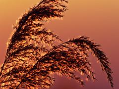 After sunset (alterahorn) Tags: dxo mc14 teleobjektiv 300mm mzuiko olympusmzuiko300mm olympusomdem1markii gräser reeds weeds sunset sundown himmel sonnenuntergang nahaufnahme closeup naturfoto naturfotographie natur nature orange red olympus rieselfelder