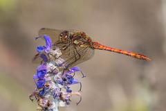 Common Darter (Maria-H) Tags: commondarter sympetrumstriolatum dragonfly quarrybankmill garden styal cheshire uk olympus omdem1markii panasonic 100400