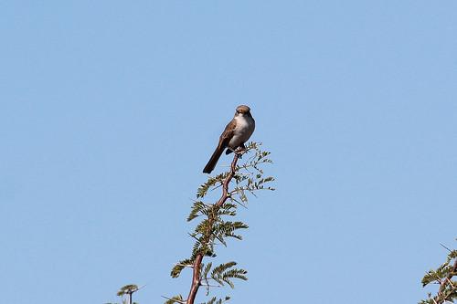 Melaenornis mariquensis (Marico Flycatcher)