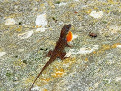Brown Anole (Jim Mullhaupt) Tags: brownanole anole lizard reptile wildlife nature landscape background wallpaper outdoor bradenton florida manateecounty nikon coolpix p900 jimmullhaupt photo flickr geographic picture pictures camera snapshot photography nikoncoolpixp900 nikonp900 coolpixp900