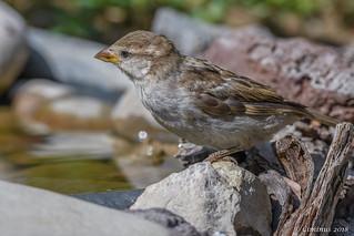 Juvenile sparrow (Passer italiae).