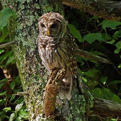 Barred Owl (Rick Lanting) Tags: shenandoahnationalpark darkhollowfalls owl barredowl