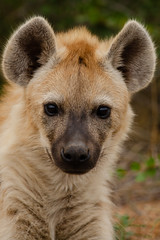 Cutie (C McCann) Tags: spotted hyena kruger national park south africa