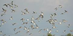 Estol (Enllasez - Enric LLaó) Tags: agujacolinegra agujas estol deltadelebre deltadelebro delta 2012 aves aus pájaros ocells bird birds