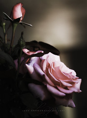 Pink Roses (Beth Crawford 65) Tags: nature outdoors flora flowers roses pink feminine soft reminiscent remember bethcrawford what i love