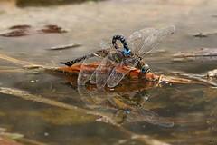 IMG_6724b (niek haak) Tags: dragonfly dragonflies odonata libel aeshnamixta paardenbijter copula mating paring tandem