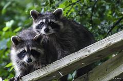 Hermanos - Siblings (R. M. Marti) Tags: mapaches animales madera vegetación arboles ramas plantas raccoons animals wood vegetation trees branches plants arbol bosque tree forest