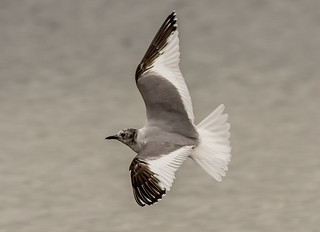 DSC1296  Sabine's Gull..