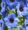 Summer Blues (maureen bracewell) Tags: closeup blue delphinium garden summer nature painterly digitalart maureenbracewell cannon itsallaboutflowers healinglightofthespirit fantasticnature